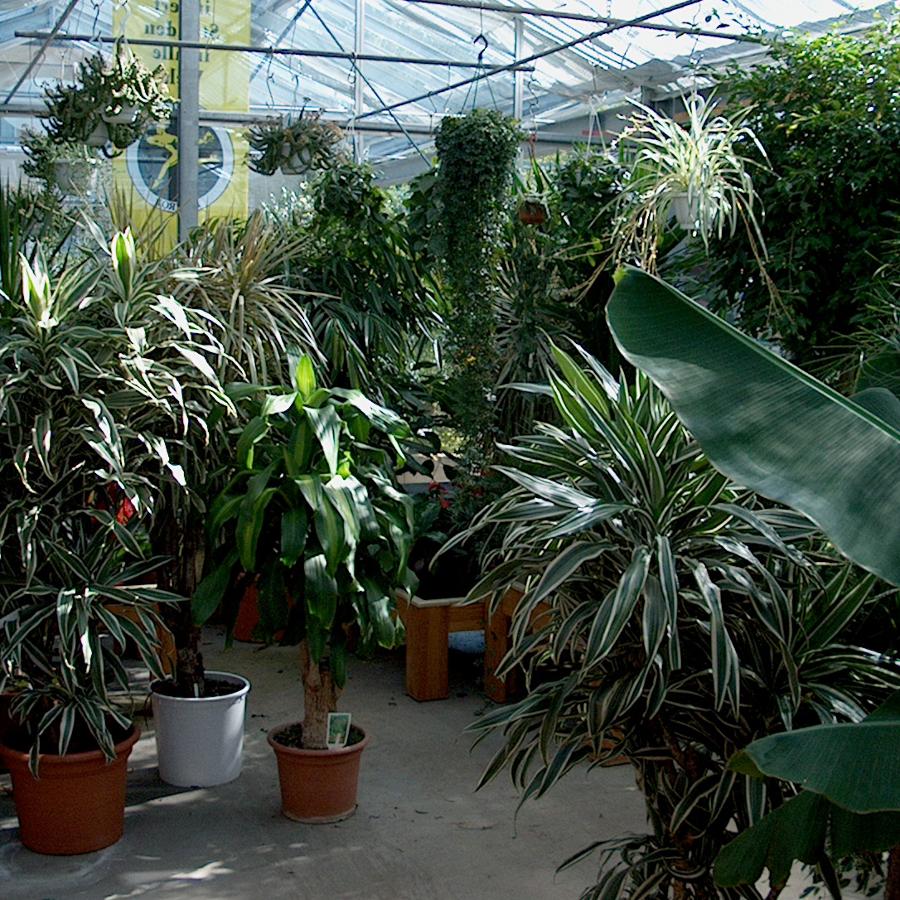 Zimmerpflanzen blumen hirter ag - Standort zimmerpflanzen ...